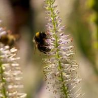 beplanting met bijenlokkers